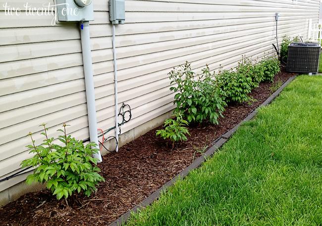 peony bushes