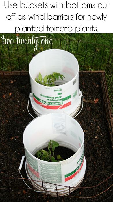 protecting tomato plants