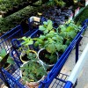 vegetable plant shopping at lowes