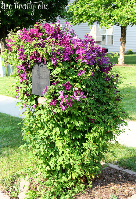 clematis on mailbox