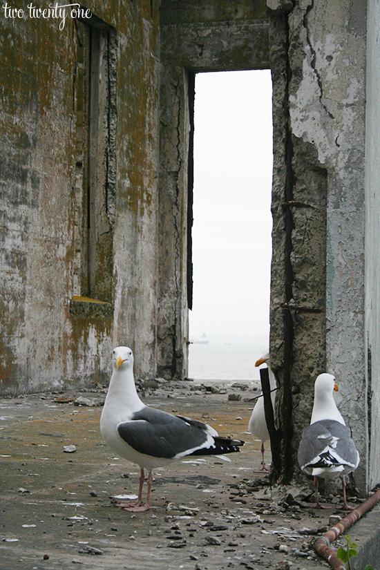 alcatraz birds
