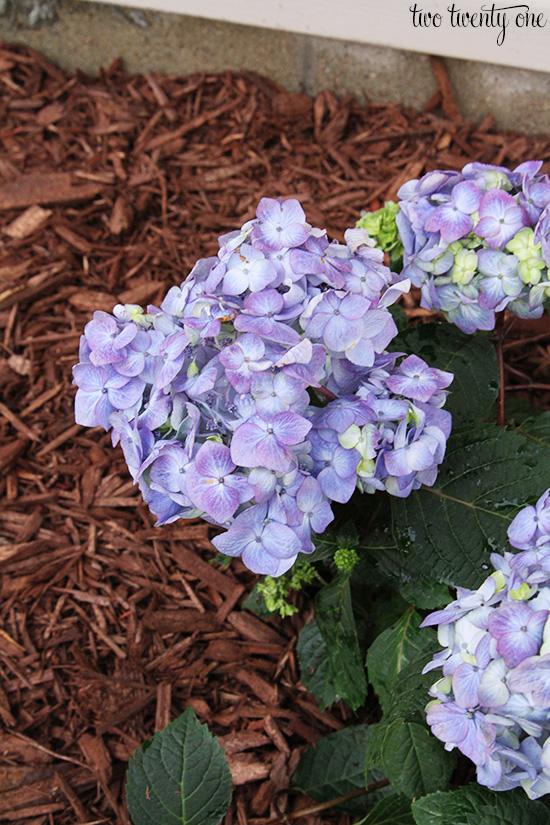 baileys endless summer hydrangea