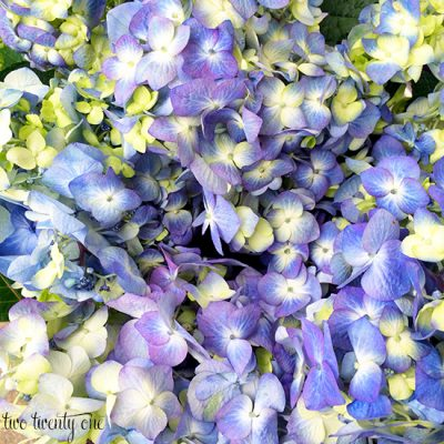 Attempting To Grow Hydrangeas + Giveaway