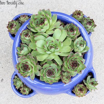 Hens and Chicks – Care and Grow Guide