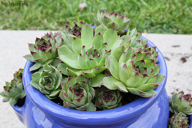 hens and chicks in strawberry pot