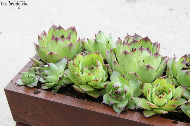 Growing Hens And Chicks Succulents Two Twenty One