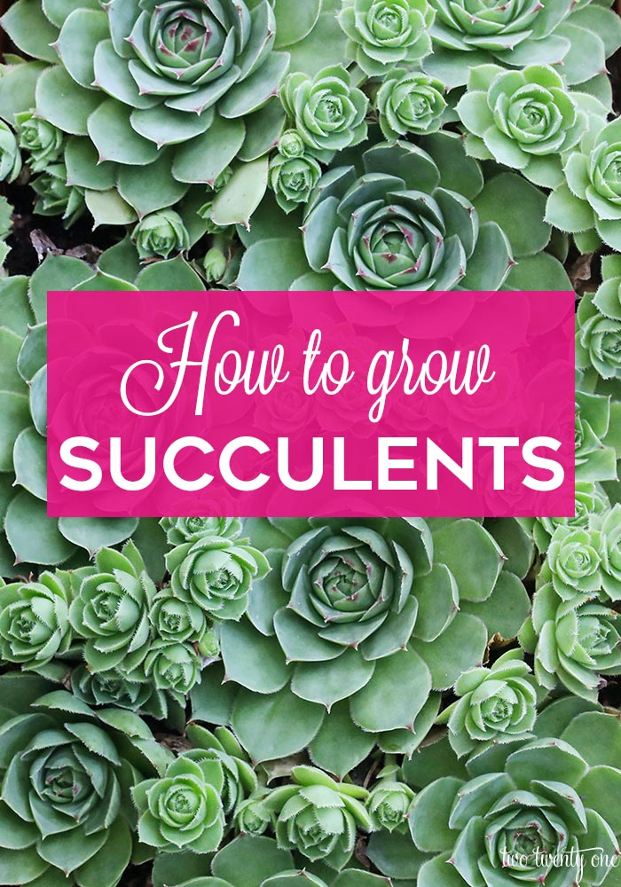How to grow succulents!