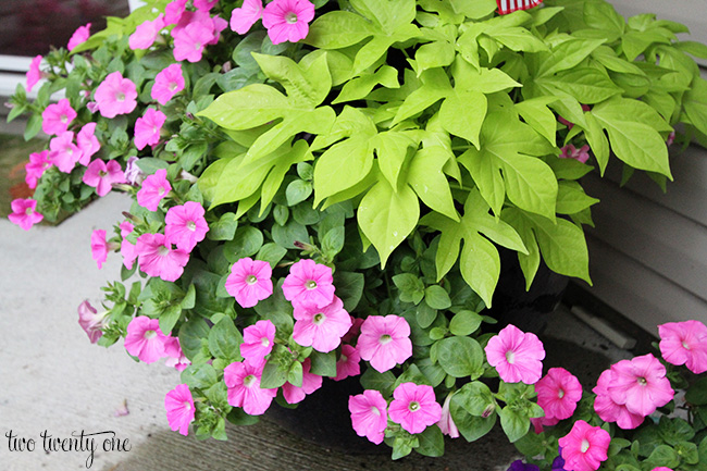 petunias and potato vine