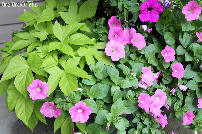 potato vine and petunias