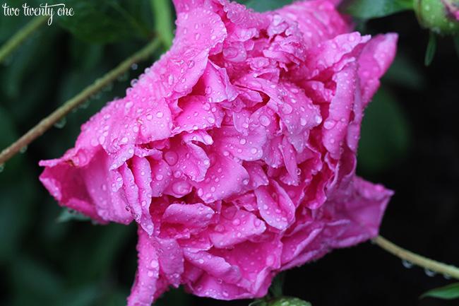 peony with raindrops 5