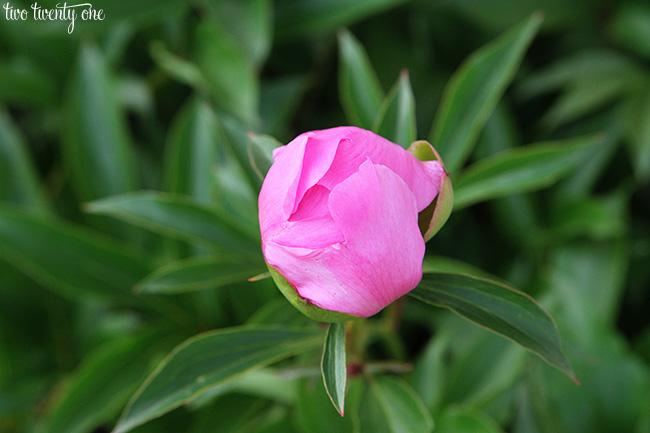 pink peony bud