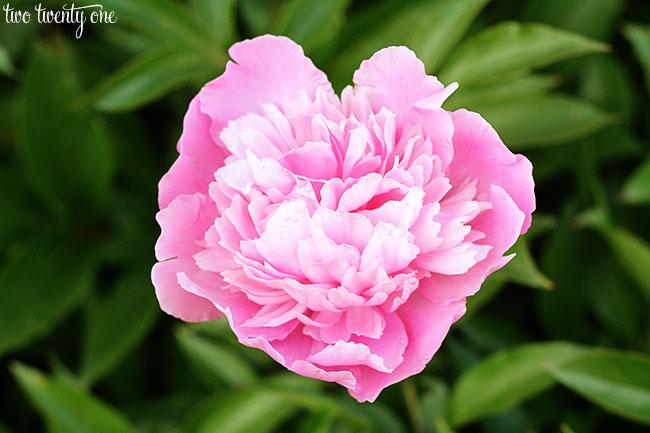 light-pink-peony-2