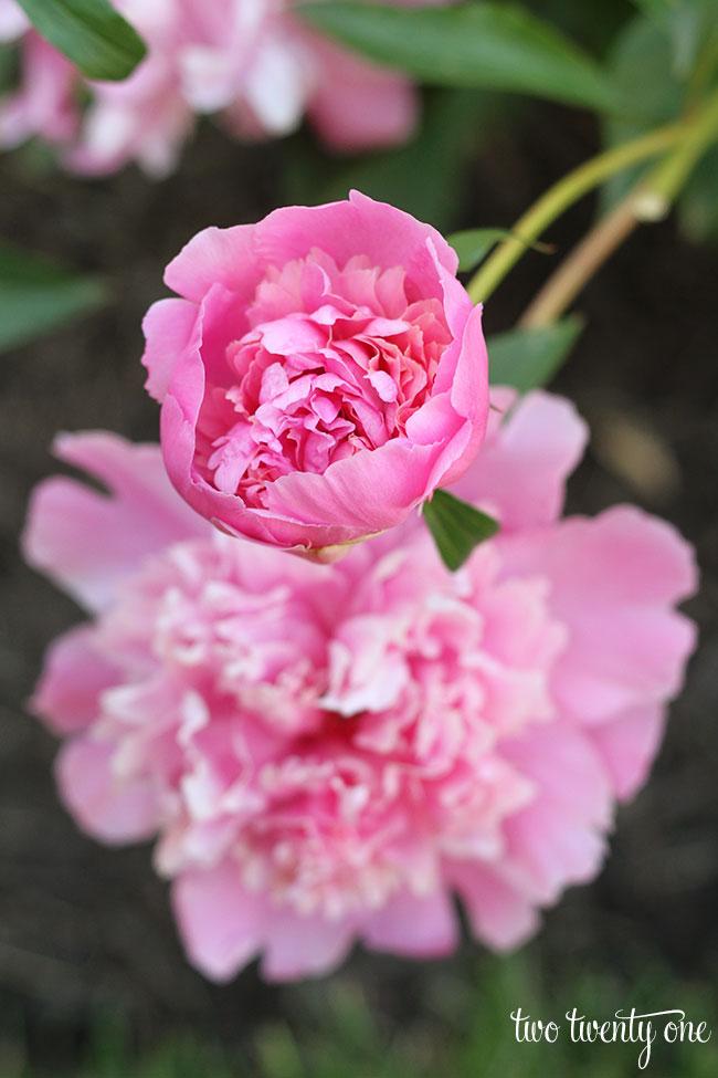 pink-peonies-2