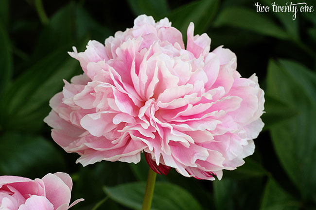 This Is Merely What I Know About And Have Experienced With Growing Peonies There Are Plenty Of Sites Out That Will Give You More Detailed Information