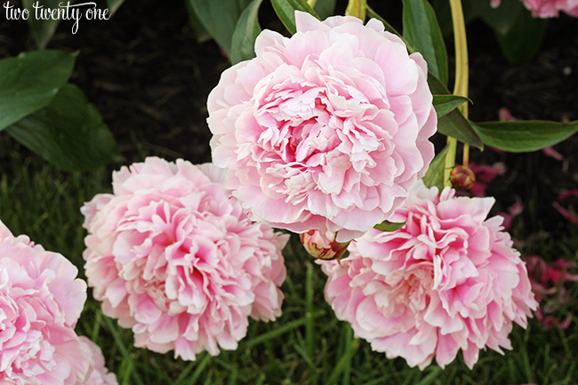 two twenty one peonies
