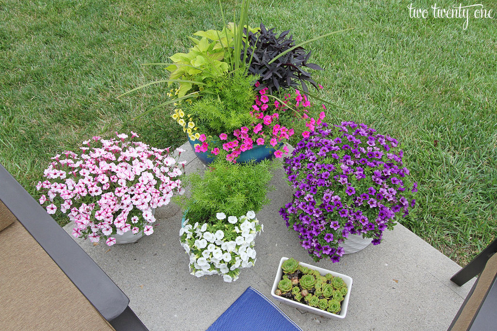 Its not that hard keeping flowers alive in the biggest planter i went with a spike green sweet potato vine purple sweet potato vine asparagus fern yellow calibrachoa and pink calibrachoa mightylinksfo
