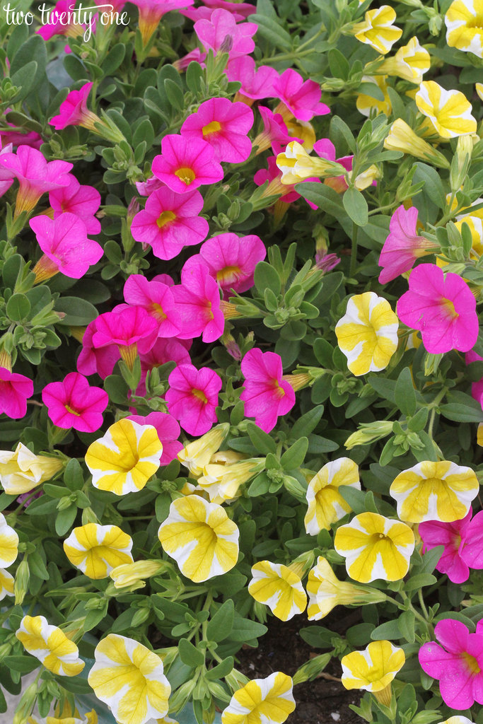 pink-and-yellow-million-bells
