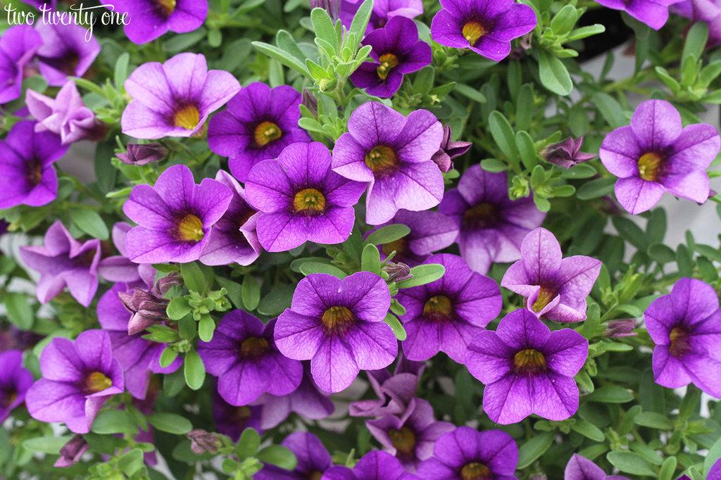purple-million-bells-1
