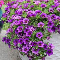 purple-million-bells-in-white-planter