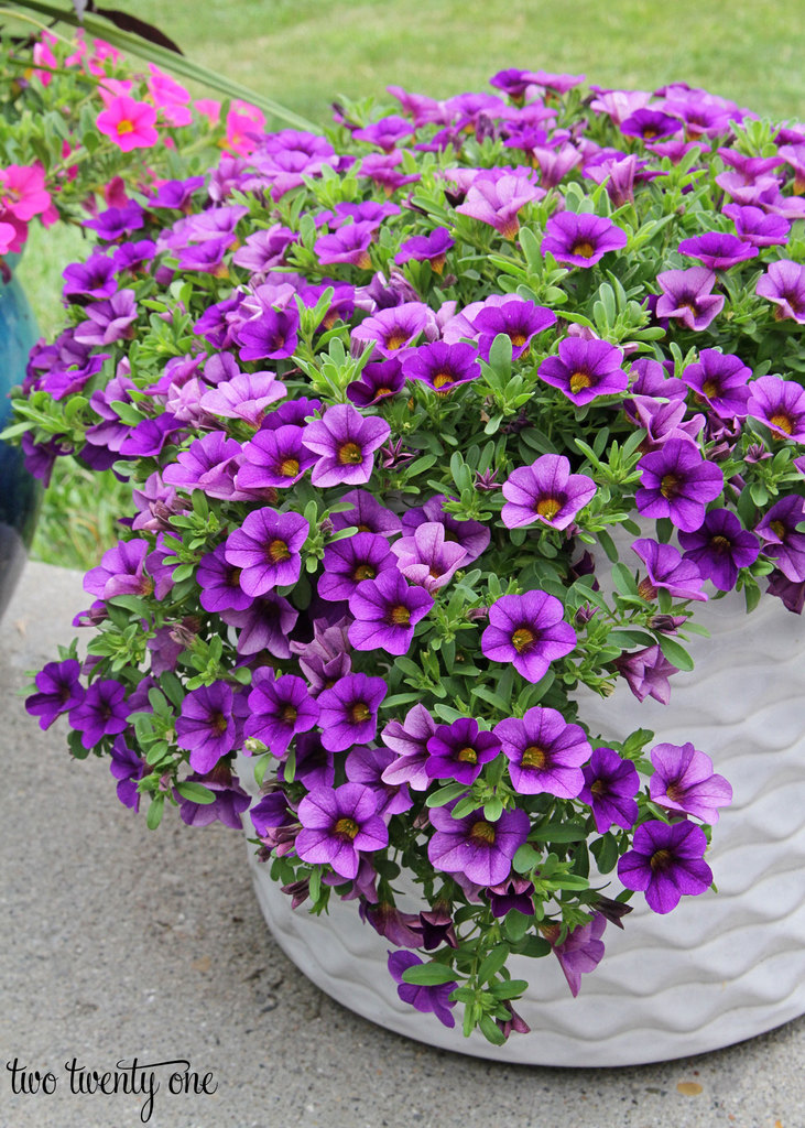 purple-million-bells-in-white-planter