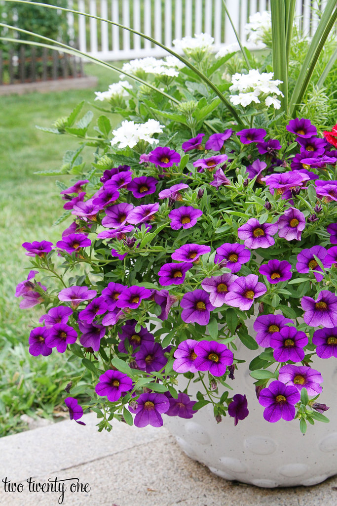 purple-million-bells