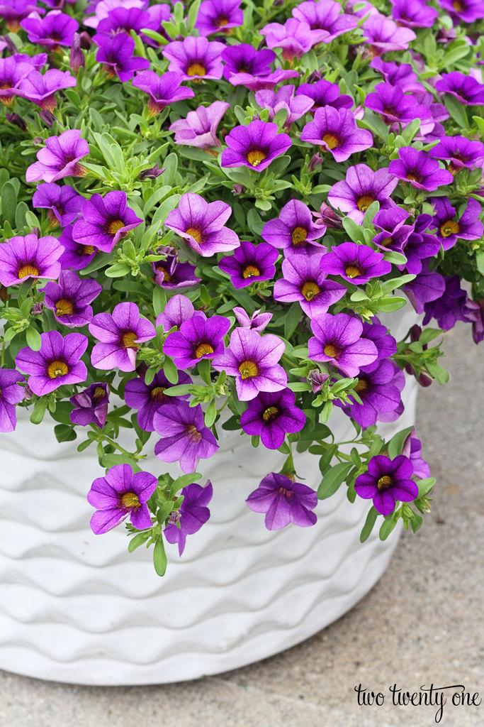 purple-millionbell-flowers
