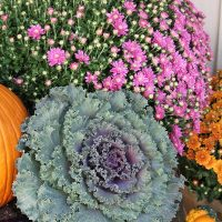 fall-cabbage