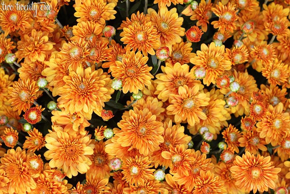 orange-mums-fall