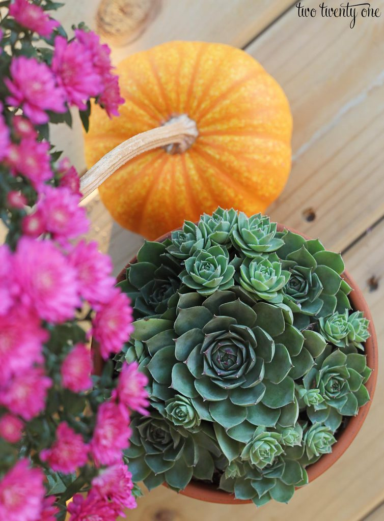 fall succulents