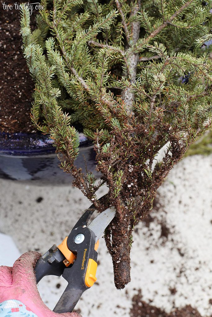 trim pine tree with fiskars
